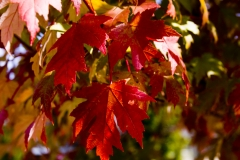 Maple Leaves, Canon 24-70 2.8L